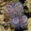 Bispira sp.<br /> Halfway Reef, Palos Verdes, California