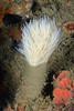 Bispira turneri, emerging from tube<br /> Halfway Reef, Palos Verdes, circa 60'<br /> <br /> ID thanks to Leslie Harris