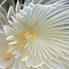 Bispira turneri, close up<br /> Halfway Reef, Palos Verdes, circa 60'<br /> ID thanks to Leslie Harris