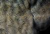 Bryozoan: Membranipora villosa, formerly Membranipora membranacea<br /> Garden Spot, Palos Verdes, California