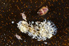 Copepods & Membranipora membranacea bryozoa<br /> Golfball Reef, Redondo Beach, California