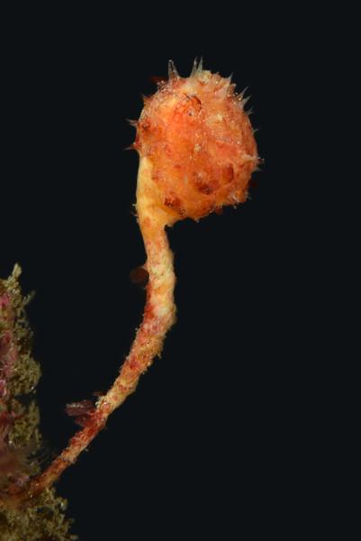 Boltenia villosa, Spiny-headed Tunicate.<br /> Golf Ball Reef, Palos Verdes, California.