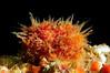 Ascidian: Halocynthia igaboja (?). Approx, 1/2 inch.<br /> Catalina Island, California