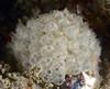 Tunicates (?)