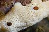 Tunicate: Didemnum carnulentum<br /> Pt. Vicente, Palos Verdes, California<br /> ID thanks to Merry Passage