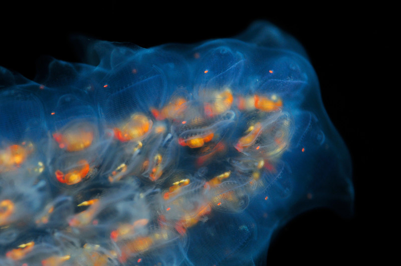Pyrosoma atlanticum<br /> The Barge, Redondo Beach, California