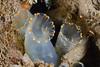 Tunicate: Ciona savignyi, Solitary Pacific Sea Squirt<br /> La Jolla Shores, California