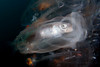 Pegea confoederata, with hitchhiking Medusafish, Icichthys lockingtoni<br /> Blue Water, 11 miles off Mission Bay, California<br /> Fish ID thanks to Andy Lamb