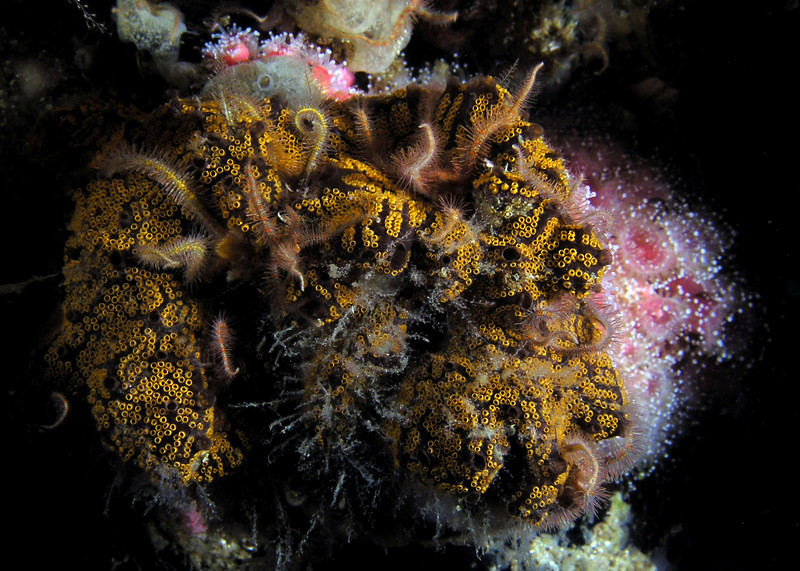 Tunicates:  Botrylloides (?)<br /> Oil Rig, Catalina Channel, California<br /> ID thanks to professor Mary Wicksten.