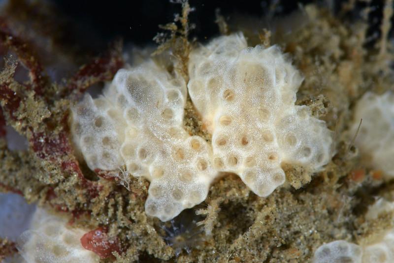 Tunicates<br /> Golf Ball Reef, Redondo Beach, California
