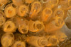 Tunicate: Pycnoclavella stanleyi<br /> Little Reef, Pt. Vicente, Palos Verdes, California<br /> ID thanks to Merry Passage.