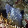 Tunicate with skeleton shrimp<br /> Golf Ball Reef, Redondo Beach, California