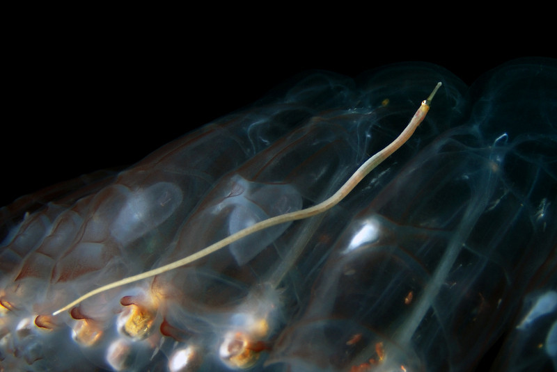 Pegea confoederata, with Pipefish hitchhiker<br /> Blue Water, 11 miles off Mission Bay, California