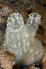 Tunicate: Ciona savignyi, Solitary Pacific Sea Squirt (?)<br /> La Jolla Shores, California<br /> ID thanks to Gayle Van Leer