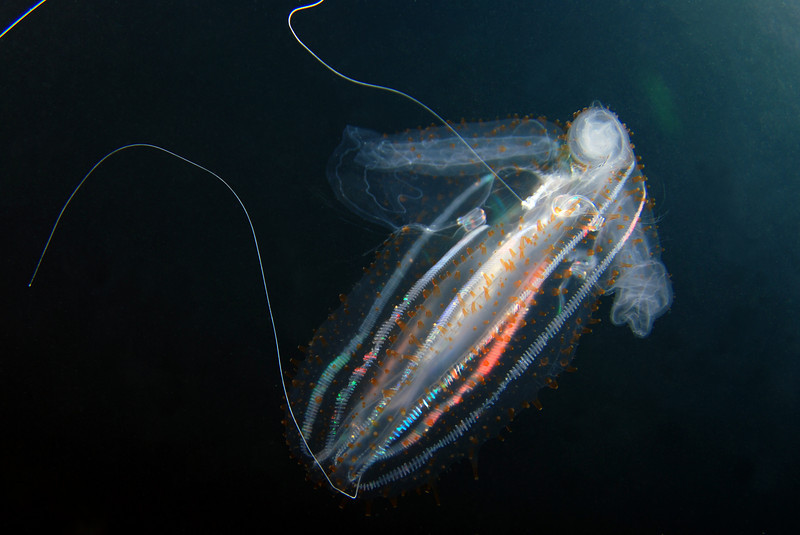 Leucothea pulchra<br /> Blue Water, 11 miles off Mission Bay, California
