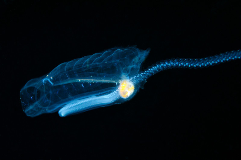 """Salpa maxima. """"You can just make out its faintly orange eye behind the blue ganglion (brain).""""<br /> Blue water dive, miles off Palos Verdes, California<br /> ID thanks to Merry Passage."""