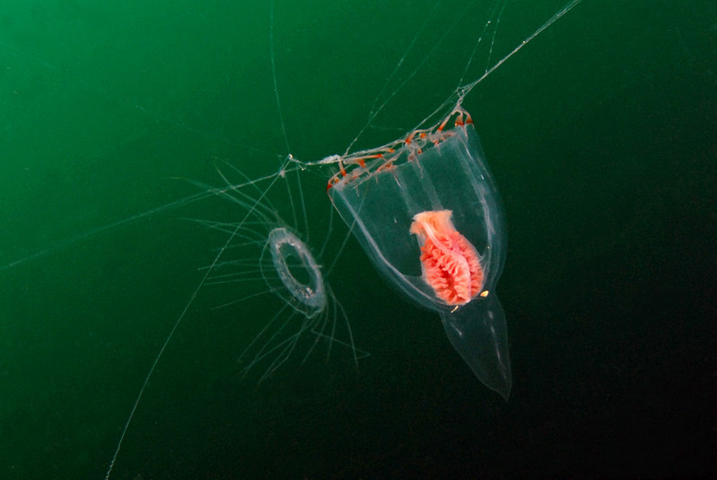 Leuckartiara spp. with the diminutive Solmaris spp. reveals how small Leuck. really is!<br /> Open water, offshore LAX.<br /> ID thanks to Merry Passage.