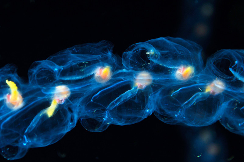 Salpa maxima aggregate form.<br /> Blue water dive, miles off Palos Verdes, California<br /> ID thanks to Merry Passage.