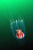 Leuckartiara spp. <br /> Open water, offshore LAX
