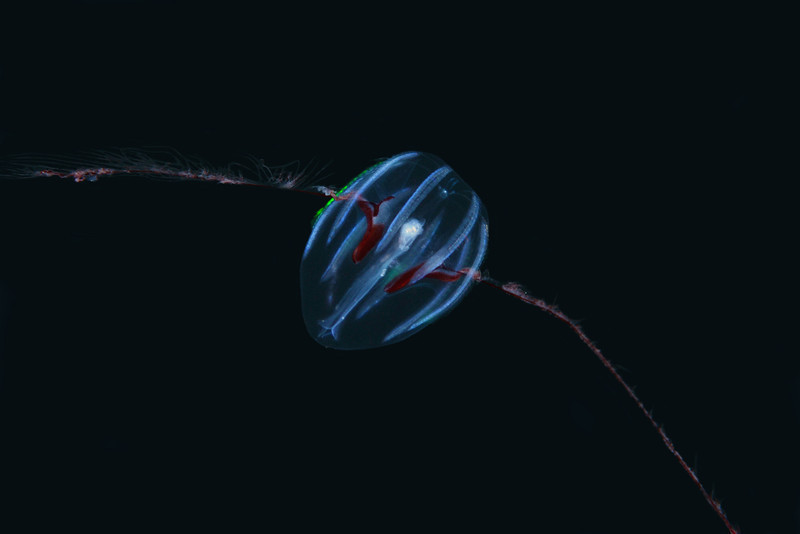 Ctenophore: Mertensiid<br /> Open water, 3 miles off Redondo Beach, California.<br /> ID thanks to Dr. Mary Wicksten and Merry Passage.