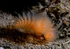 Phoronipisis californica, California Phoronid<br /> San Clemente Island, California USA