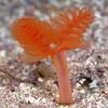 Phoronipisis californica, California Phoronid