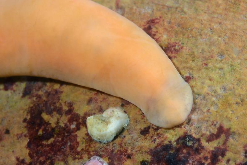 Nemertean Worm: Cerebratulus californiensis<br /> Golf Ball Reef, Palos Verdes, California<br /> ID thanks to Leslie Harris