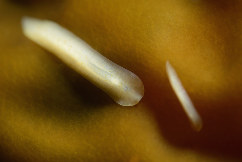Platyhelminthes: Prosthiostomum latocelis, flatworms<br /> Resort Point, Palos Verdes, California<br /> ID thanks to Leslie Harris and Tony Phillips