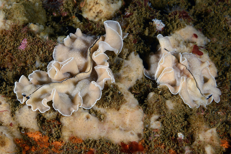 Pseudoceros luteus flatworms<br /> The Barge, Redondo Beach, California