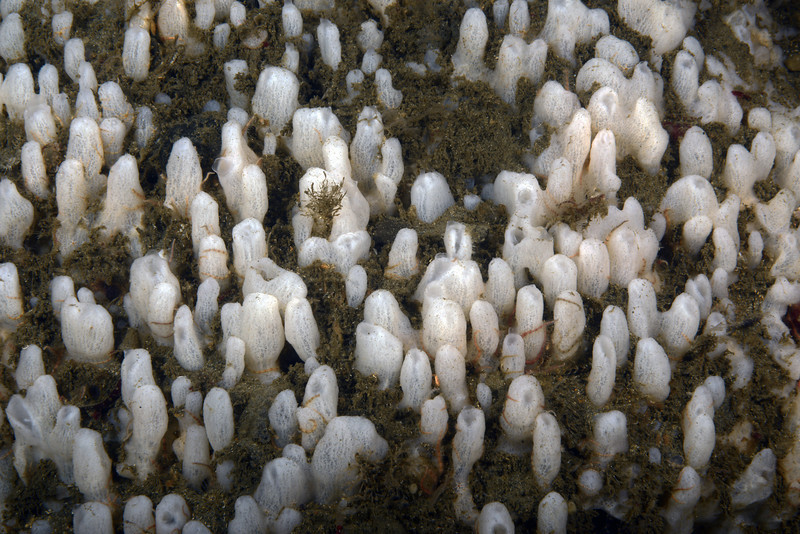 Sponge:  Polymastia sp., Aggregated Nipple Sponges<br /> ID thanks to Andy Lamb