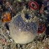 Sponge: Craniella villosa, previously Craniella arb, Gray Puffball Sponge<br /> ID thanks to Andy Lamb
