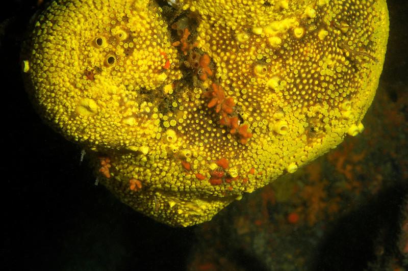 Sponge: Cliona californiana, previously Cliona celata, Boring Sponge<br /> Camel Head, Pt. Loma, California<br /> ID thanks to Andy Lamb