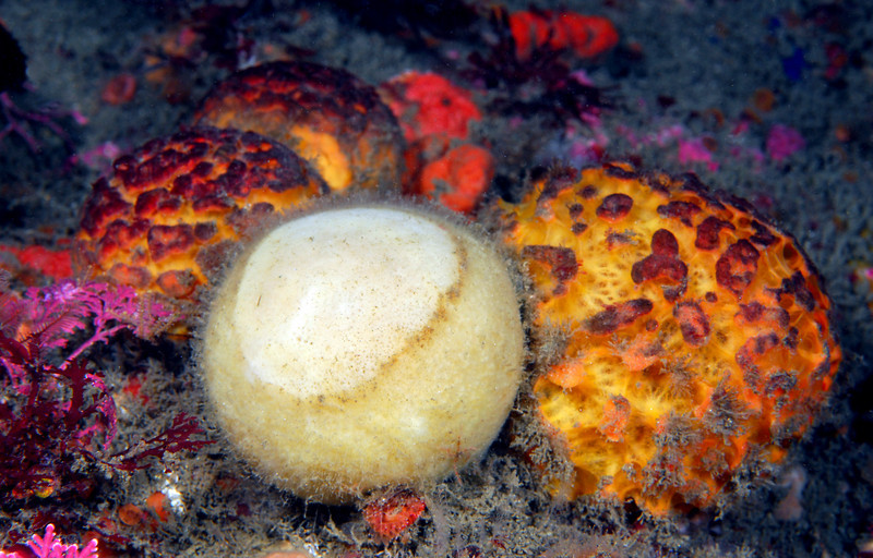 Sponge: Tethya californiana, previously Tethy aurantia, Orange Puffball and Craniella arb, Grey Puffball Spnges<br /> ID thanks to Andy Lamb.