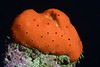 Sponge<br /> Golf Ball Reef, Redondo Beach, California
