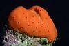 Sponge<br /> Golf Ball Reef, Redondo Beach, California