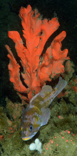 Sponge with Rockfish