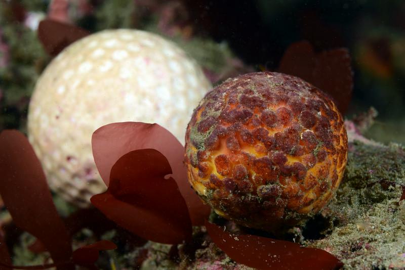Sponge: Tethya californiana, previously Tethya aurantia, Orange Puffball Sponge<br /> Golf Ball Reef, Redondo Beach, California<br /> ID thanks to Andy Lamb