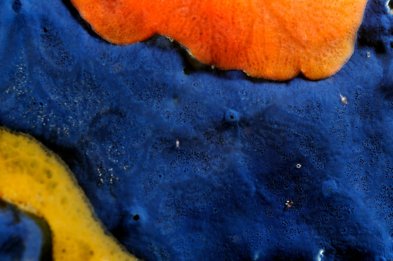 Sponges: Acanthancora cyanocrypta, formerly Hymenamphiastra cyanocrypta, Cobalt Sponge<br /> Catalina Island, California