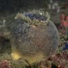 Sponge: Craniella villosa, previously Craniella arb, Gray Puffball Sponge<br /> Pt. Loma, California<br /> ID thanks to Andy Lamb