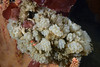 Tunicate colony<br /> Golfball Reef, Redondo Beach, California