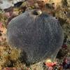 Sponge<br /> Pt. Vicente, Palos Verdes, California
