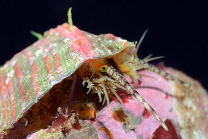 Abalone, juvenile with fashionable shell.<br /> Golf Ball Reef, Redondo Beach, California