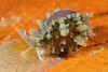Snail: Erato vitellina, Appleseed Snail<br /> Merry's Reef, Palos Verdes, California<br /> ID thanks to Merry Passage.
