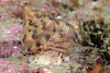 Snail: <br /> Golf Ball Reef, Palos Verdes, California