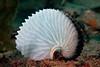 Argonaut: Paper Nautilus<br /> Catalina Island, California USA