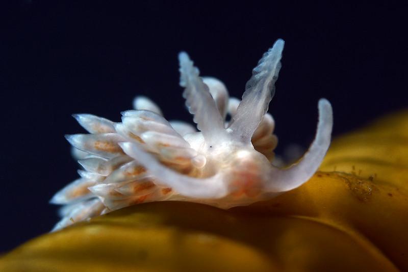 Anteaeolidiella chromosoma<br /> Willow Cove, Catalina Island, California<br /> January 9, 2021