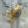 Crab: Cancer gracilis, juvenile, likely<br /> La Jolla Shores, California<br /> September 9, 2020<br /> ID thanks to Gregory Jensen