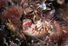 Alloclinus hoderi, Island Kelpfish<br /> Isthmus Reef, Catalina Island, California<br /> November 29, 2020