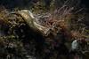 Navanax inermis with eggs<br /> Willow Cove, Catalina Island, California<br /> January 2, 2021
