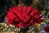 Eudistylia polymorpha, feather duster worm<br /> Garden Spot, Palos Verdes, California<br /> August 1, 2020